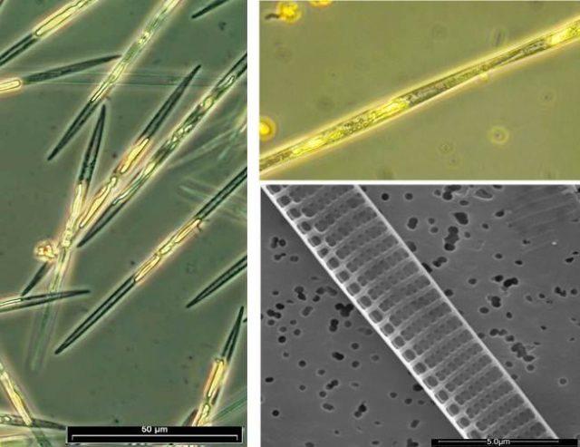 pseudo-nitzschia, alga venenosa,noticias maritimas colombia