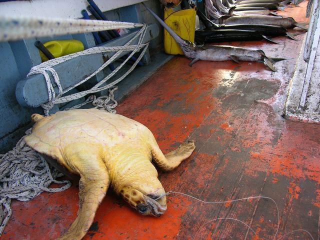 pesca irresponsable, palangre, masacre, autoridades colombianas, destrucción medio ambiente, biodiversidad marina, extinción, información marítima y portuaria, conversación marina, Colombia extinta